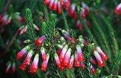 Fleur de bruyère royale endémique au fynbos Afrique du Sud ; Fynbos