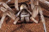White lady spider Namib Desert, Namibia  ; White lady spider Leucorchestris arenicola Namib Desert, Namibia