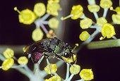 Guêpe dorée butinant une fleur