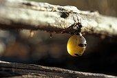 Honeypot ant unearthed by Australian AboriginesAustralia