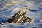 Southern right whale showing its head in the foam ; BBC competition prize
