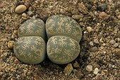 Plante caillou lithops ; Ou pierre vivante. Lithops lesliei. Jardin Botanique de Lyon. Origine: Afrique du Sud. Début Septembre