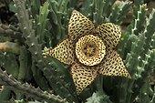 Orbea en fleur ; Orbea variegata. Jardin Botanique de Lyon. Origine: Afrique du Sud. Aout