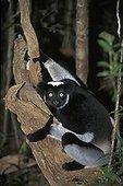 Indri dans un arbre Mantadia Andasibe PN Madagascar ; Réserve de Périnet.