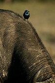 Choucador à oreillons bleus Nakuru Kenya