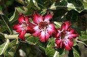 Fleurs d'Adenium obesum Samburu Kenya