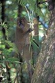 Hapalémur à nez large mangeant Ranomafano PN Magagascar ; Il déchiquette le tronc du bambou près de sa base pour en prélever la pulpe. Ce comportement alimentaire, qui condamne la totalité d'un bambou pour un petit prélèvement, devient problématique en raison de la diminution de l'habitat, et donc des ressources alimentaires de l'espèce.