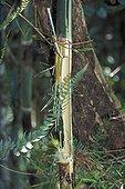 Bambou géant pelé par un Hapalémur à nez large Magagascar ; Il déchiquette le tronc du bambou près de sa base pour en prélever la pulpe. Ce comportement alimentaire, qui condamne la totalité d'un bambou pour un petit prélèvement, devient problématique en raison de la diminution de l'habitat, et donc des ressources alimentaires de l'espèce.