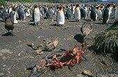 Labbe sub-antarctique dépeçant une carcasse de manchot mort