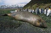 Eléphant de mer du sud mâle et manchot royal muant T.A.A.F ; Ce mâle d'éléphant de mer se repose après la période de reproduction (il porte encore les séquelles de ses combats).