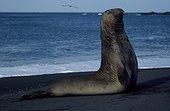 Eléphant de mer du sud Mâle Archipel Crozet ; Mâle surveillant le harem d'un autre mâle en période de reproduction.
