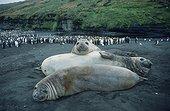 Eléphant de mer du sud et manchots royaux Archipel Crozet