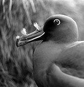 Portrait d'Albatros brun Ile d'Amsterdam