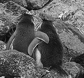 Two Southern Rockhopper Penguins arm in arm Île Amsterdam