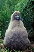 Poussin  Albatros brun Ile d'Amsterdam