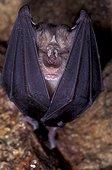Grand Rhinolophe suspendu dans une grotte France