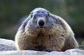 Alpine Marmot France
