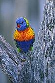 Rainbow Lorikeet perched in a tree fork Australia