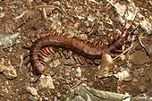 Giant Scolopendra of Mayotte
