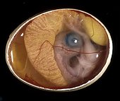 Chick embryo of 10 days