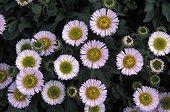 Vergerette en fleur