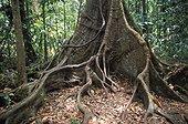 """Contrefort d'un Acomat boucan en forêt tropicale Guadeloupe ; Exposition : """"L'Art du végétal : un festival de formes et de couleurs"""""""
