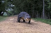 American alligator walking on a path USA