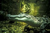 Alligator du Mississippi sous l'eau USA