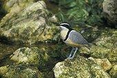 Pluvian d'Egypte ou Pluvian fluviatile Afrique ; Oiseau supposé nettoyer la mâchoire des Crocodiles
