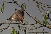 Renard volant des Comores suspendu à une branche