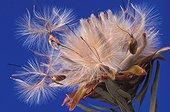 Fruit sec ligneux en forme de cône du Leucadendron  ; Ne s'ouvrant qu'après le passage du feu. Exposition festival 2003 Montier-en-Der L'art du Végétal