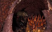 Toupaye commune à l'intérieur d'une fleur de Rafflésia ; Ouest de Sumatra
