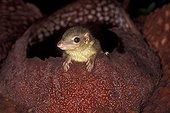 Jeune Toupaye commune sortant d'une fleur de Rafflésia ; Ouest de Sumatra