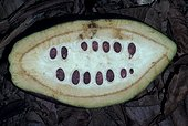 Graines de cacao dans cabosse Costa Rica