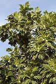 L'arbre à pain en fruit Guadeloupe