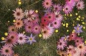 Floraison de ficoïdes Afrique du Sud
