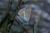 Argus de la sanguinaire mâle posé sur une herbe France