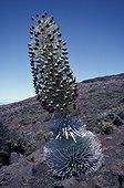 Epée d'argent en fleur Parc National Haleaka Hawaï