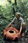 Man showing a Rafflesia flower Sumatra Indonesia