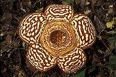 Fleur de Rafflésia Sabah Malaisie