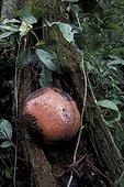 Bouton d'une fleur de Rafflésia Sumatra Indonésie