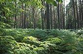 Fougère Dryopteris en sous-bois Cachoubie Pologne