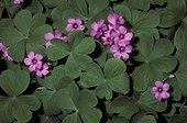 Oxalis en fleur et feuilles ouvertes Brésil