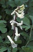Corydale à bulbe creux en fleur Pays-Bas