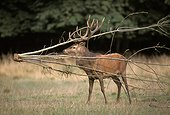 Male red deer trapped by a branch France