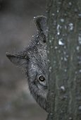 Loup caché derrière un tronc  France ; Parc de vision des Loups du Gévaudan