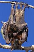 Renard volant à collier tenant son jeune enveloppé dans aile ; Cape York