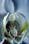 Mante orchidée sur une fleur blanche  Asie du Sud-Est