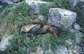 Otarie morte de faim suite aux effets d'El Nino Galapagos