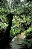 Fougère arborescente et sentier Parc National Otway ; Victoria Australie